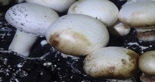 ابعاد بیوشیمیایی و فیزیولوژیکی بیماری لکه قهوهای قارچ دکمهای