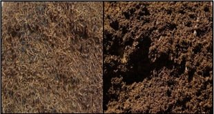 Slide1 - استفاده از ضایعات چای بهعنوان ماده پوششی جدید در کشت قارچ دکمه ای Agaricus bisporus