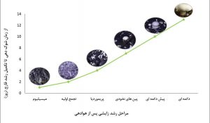 نمودار رشد زایشی قارچ دکمه ای