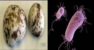 sh4 - آیا می دانید عامل بیماری لکه باکتری چگونه به قارچ های شما آسیب میرساند؟