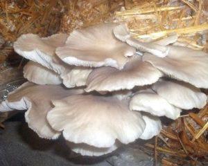 پرورش قارچ صدفی