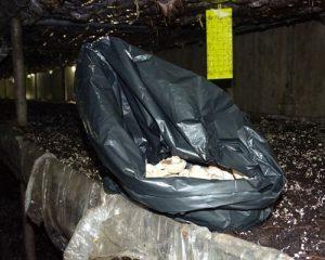 جمع آوری ورتیسیلیوم در کیسه های زباله