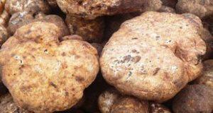 Truffle 1 300x160 - نحوه پرورش قارچ دنبلان