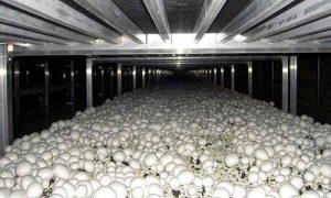 سالن پرورش قارچ