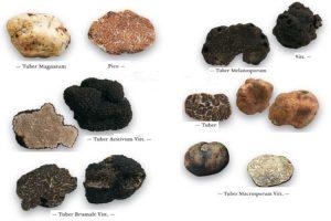 انواع گونه های قارچ دنبلان