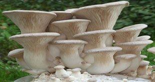 Pleurotus eryngii  - آیا قارچ صدفی را می شناسید؟