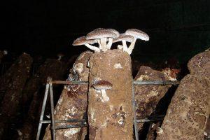 پرورش قارچ شی تاکه