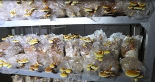Photo of آیا پرورش قارچ گانودرما کار آسانی است؟
