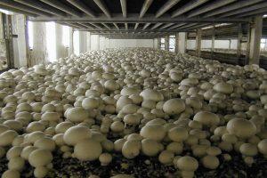 قارچ پرورشی