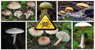 Photo of ۶ گونه قارچ سمی و کشنده در ایران، را بشناسید!