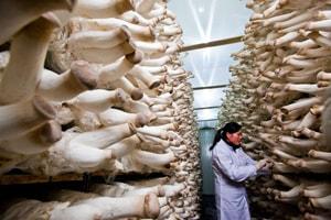 Photo of پرورش قارچ شاه صدف (ارینجی)
